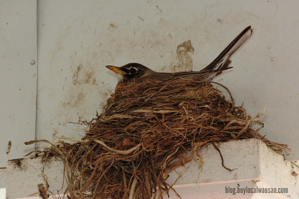 Robin nest wausau relylocal spring