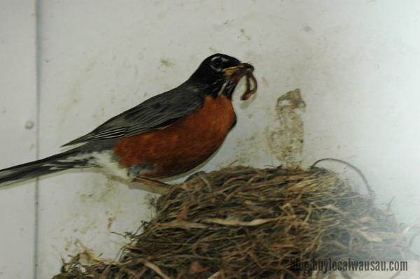 Robin Feeding relylocal wausau bird