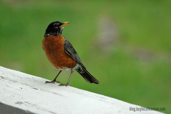 Male robin searching for worms relylocal wausau