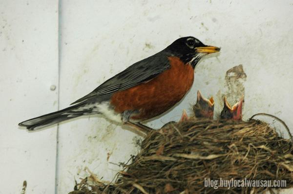 Robin Feeding bird relylocal wausau spring