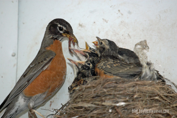 Robin feeding big worm wausau relylocal