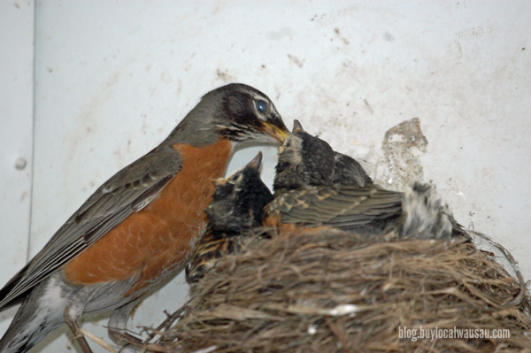 Worms go into the gaping babies robin mouths relylocal wausau