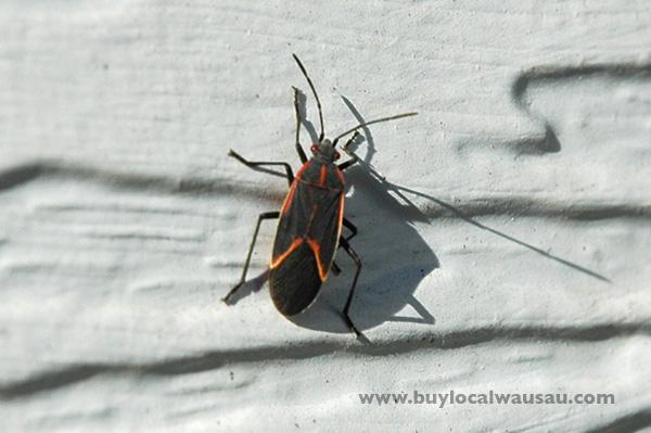 Wausau little brown bug beetle pest. Little Brown Bugs Invade Wausau   Wausau Foodie